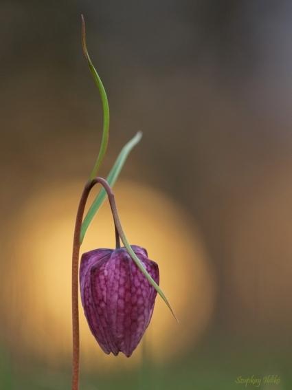 kockásliliom vagy kotuliliom (Fritillaria meleagris)